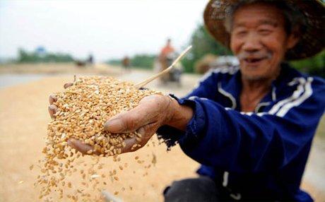 Посевная площадь зерновых в китайской провинции Хэйлунцзян вновь превысила 14 млн. га