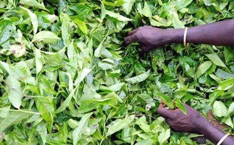 В экспорте чая из Индии в